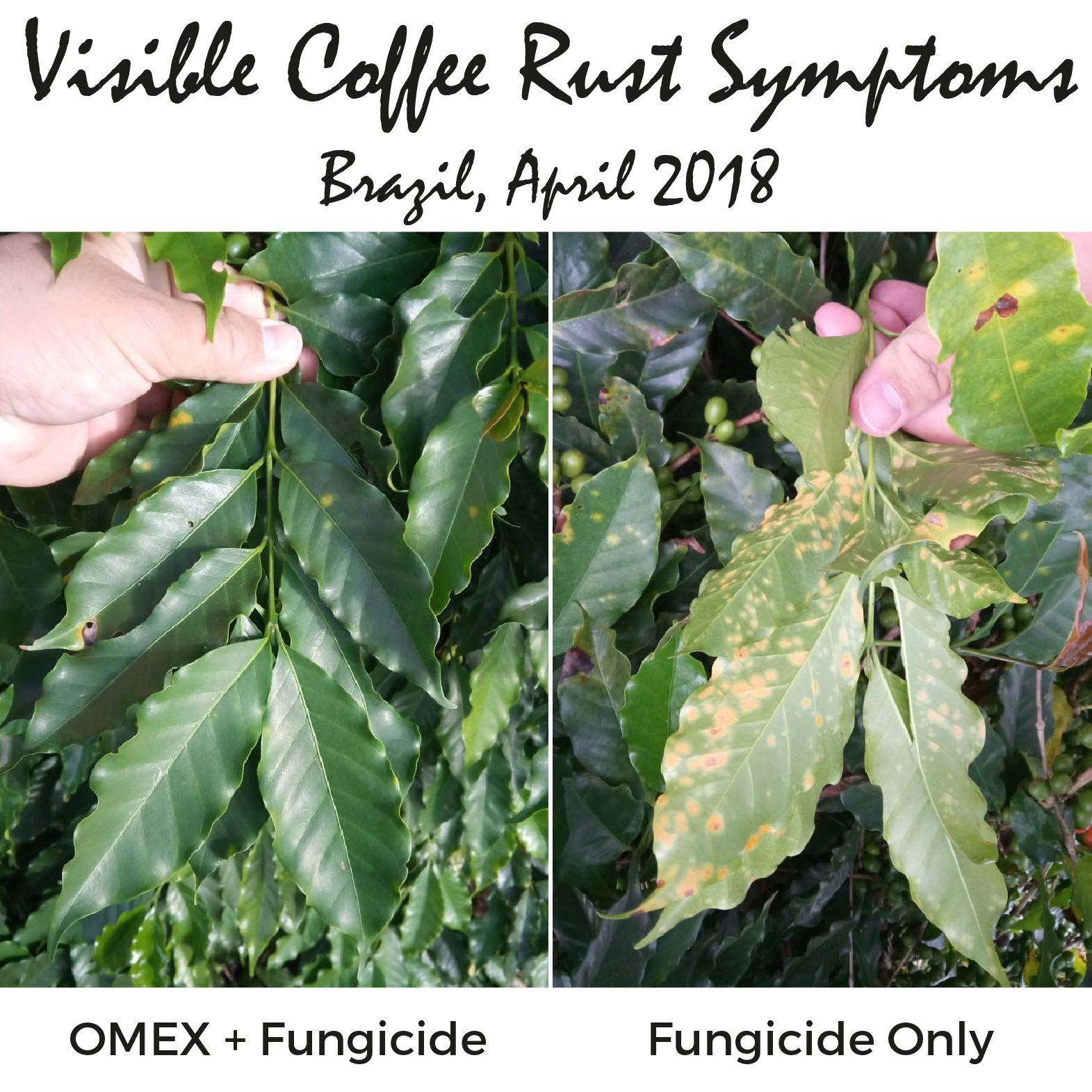 Have you got symptoms of coffee rust?