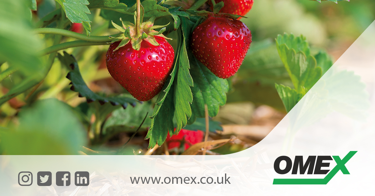 How to increase your Strawberry yield