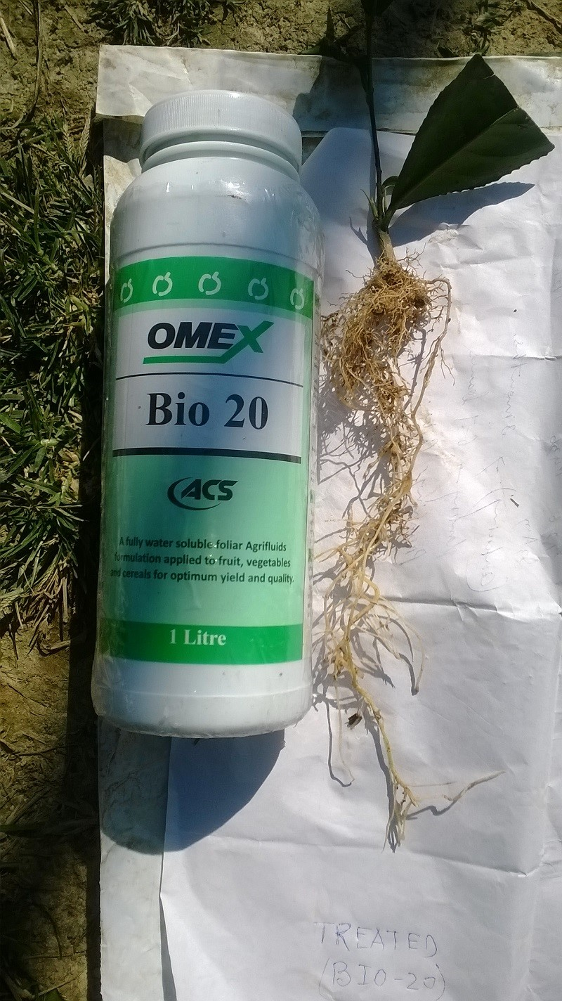 Excellent effects from foliar applications of Bio 20 on Tea