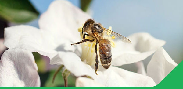 Improve Pollination and Fruit Set – Nutritional Agronomy Note