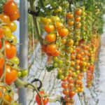 Tomatoes growing on a vine in a farm