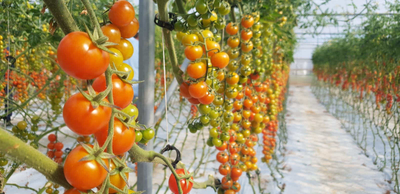 Greenhouse growing – high rewards from high class crop nutrition