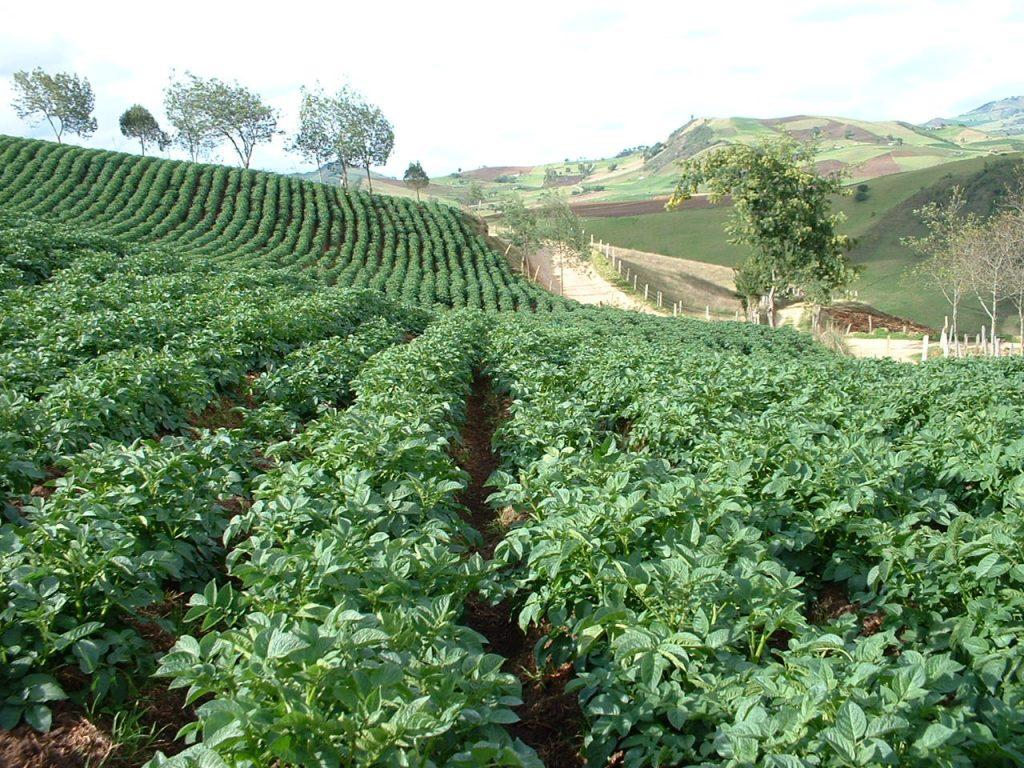 foliar feeding potatoes