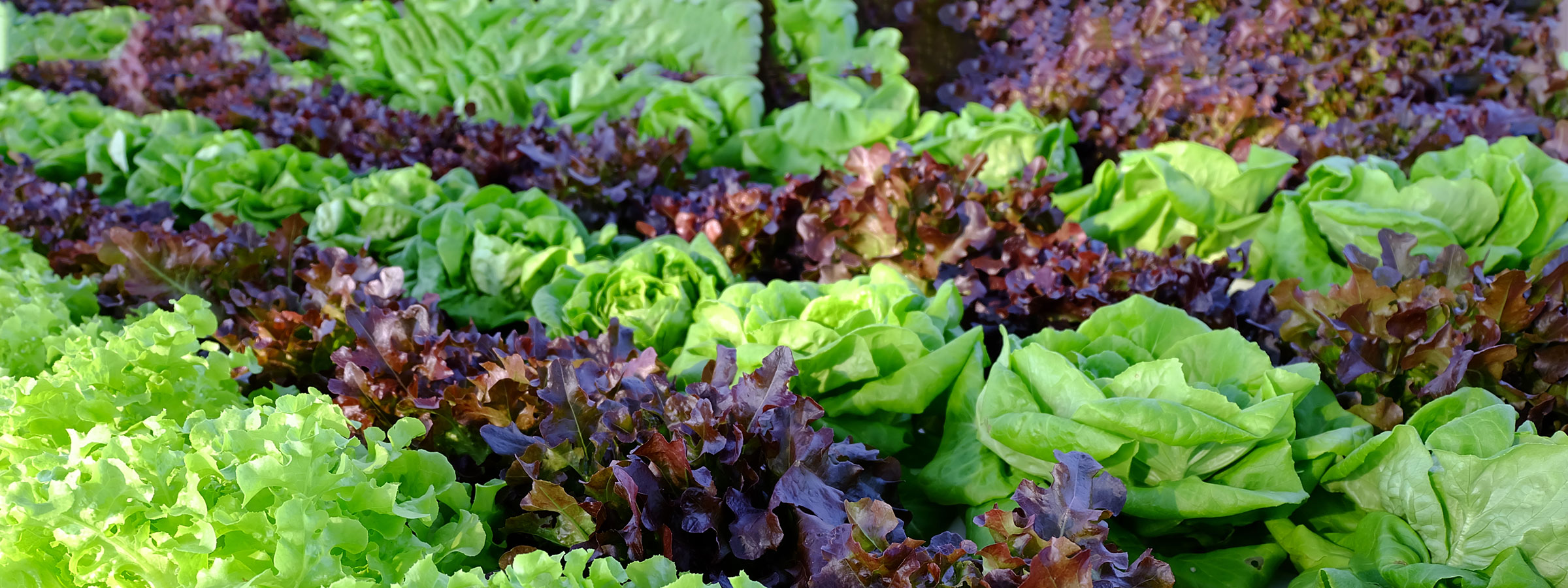 LETTUCE AND LEAFY SALADS