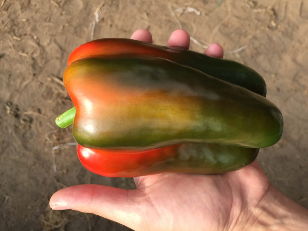 Massive pepper