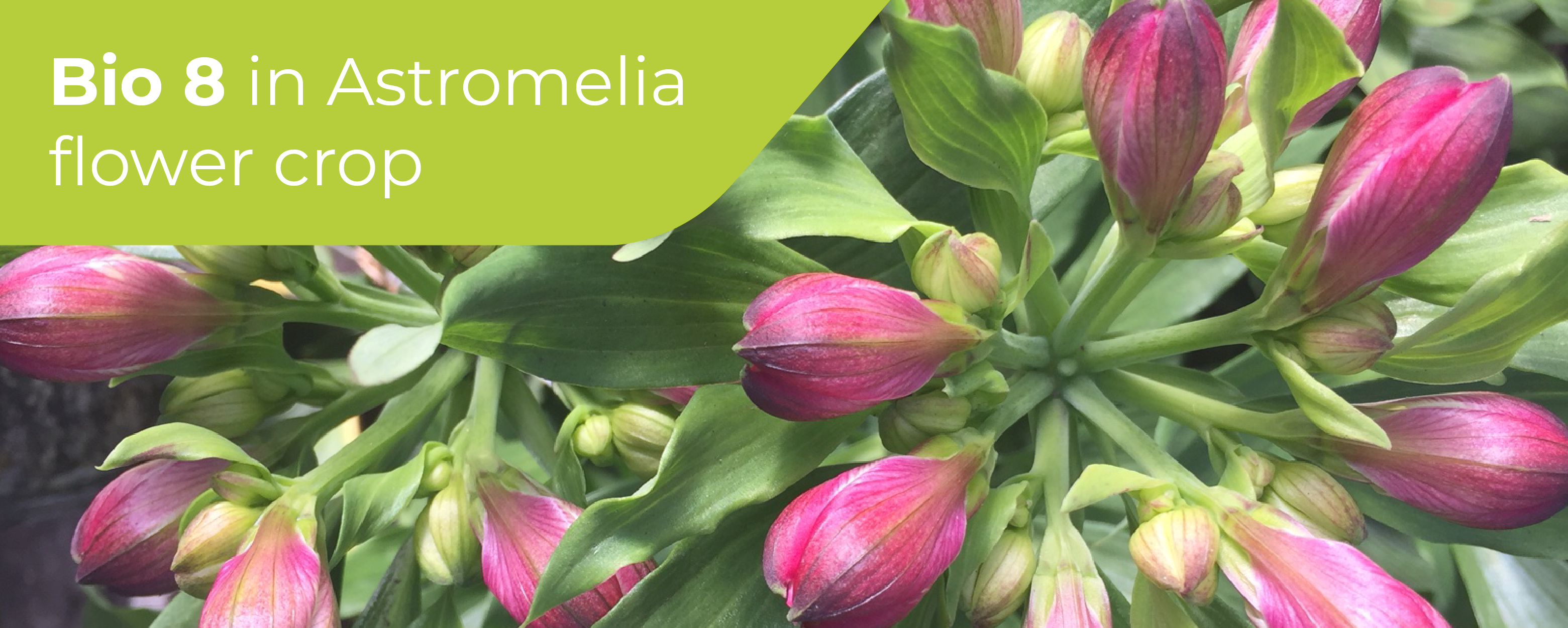 OMEX Bio 8 on Astromelia Flower Crop,​ Colombia​