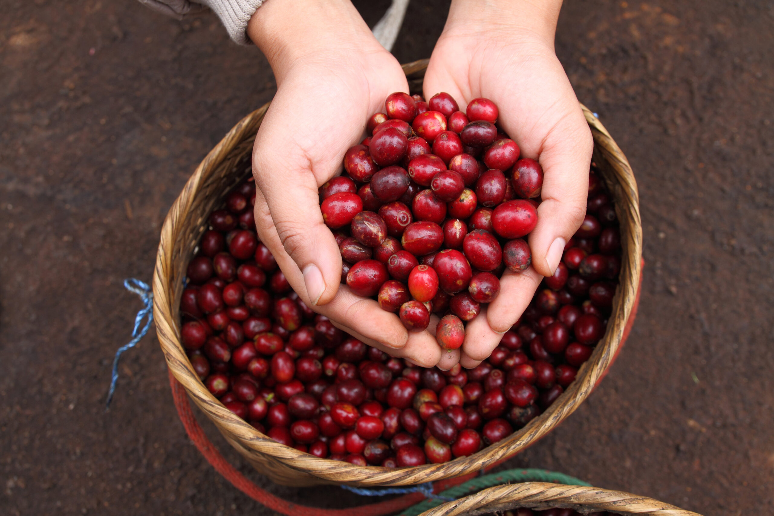Latest article from Dr Terry Mabbett on minimising coffee berry drop