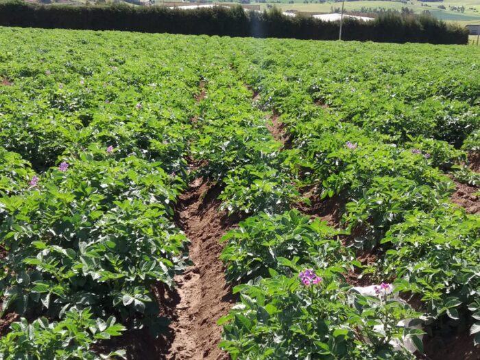 Potato crop in Columbia