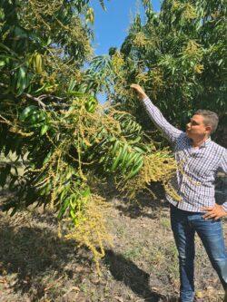 Mangoes flowering