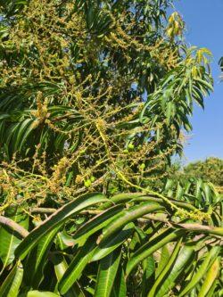 Mangoes fruit set