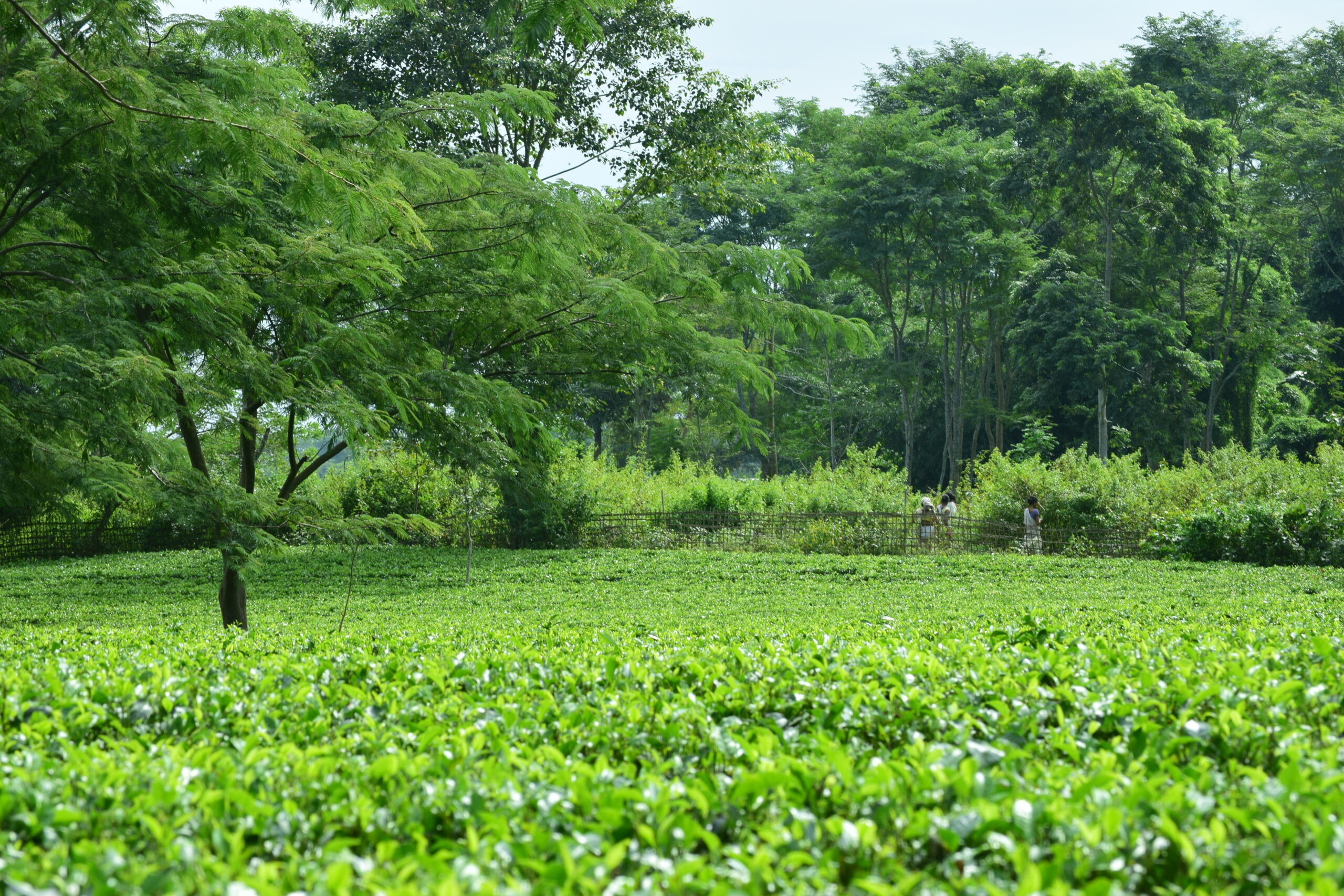 Citromax & Micromax on tea production