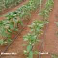 greenhouse peppers 30 dyas