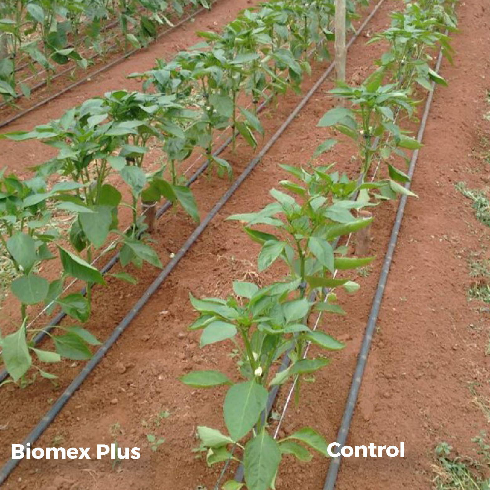 Biomex Plus on greenhouse peppers