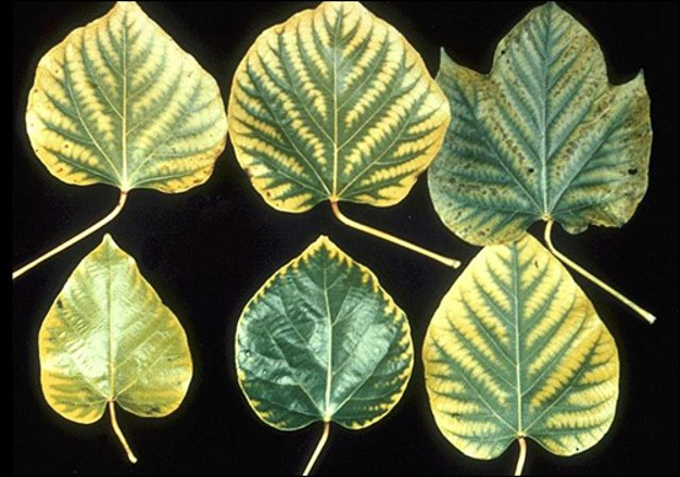 Manganese deficiency