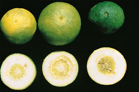 boron deficiency citrus