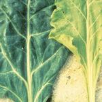 sulphur deficiency