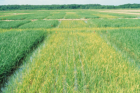 Nitrogen deficiency rice