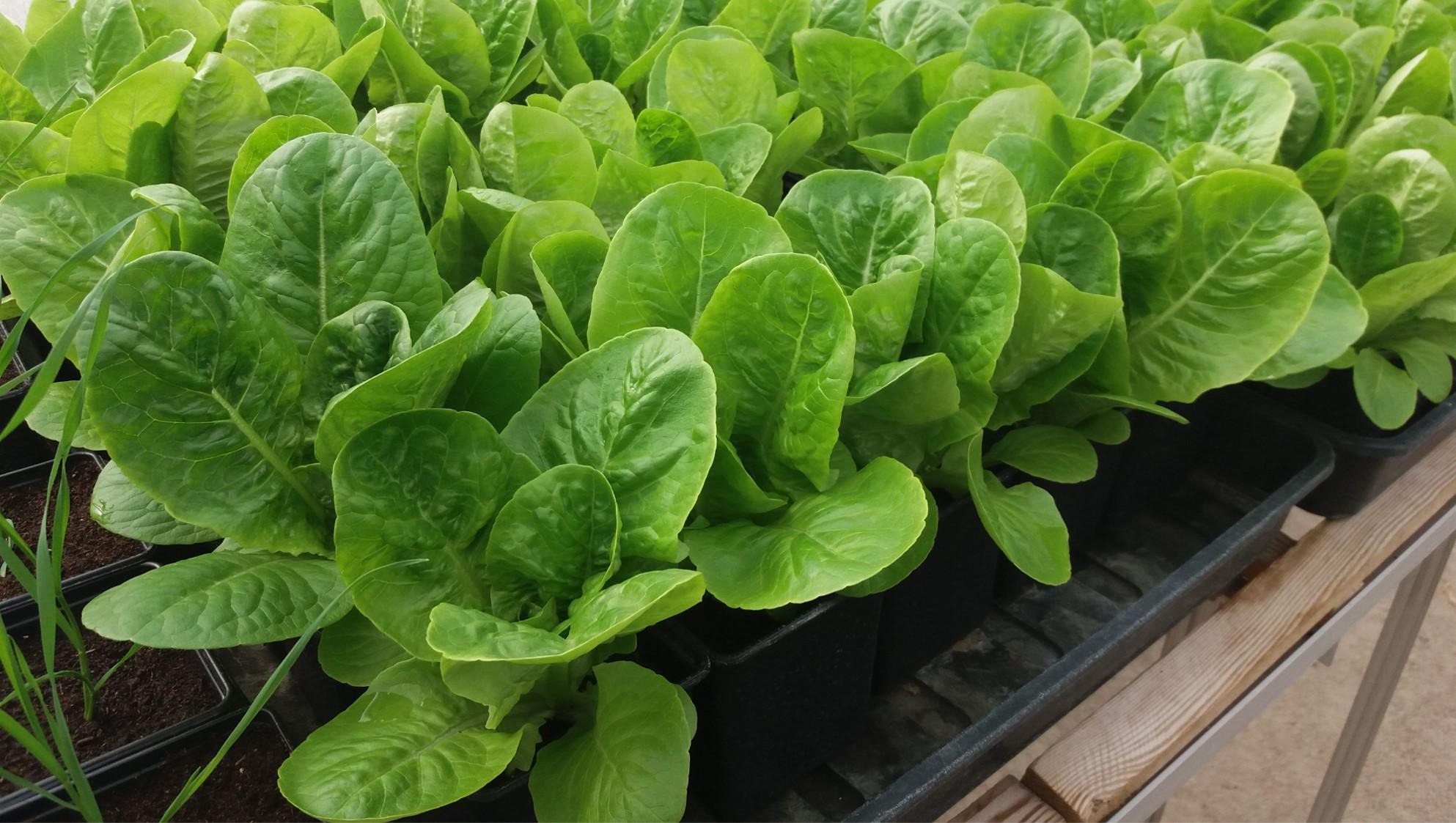 Seastar-F on lettuce