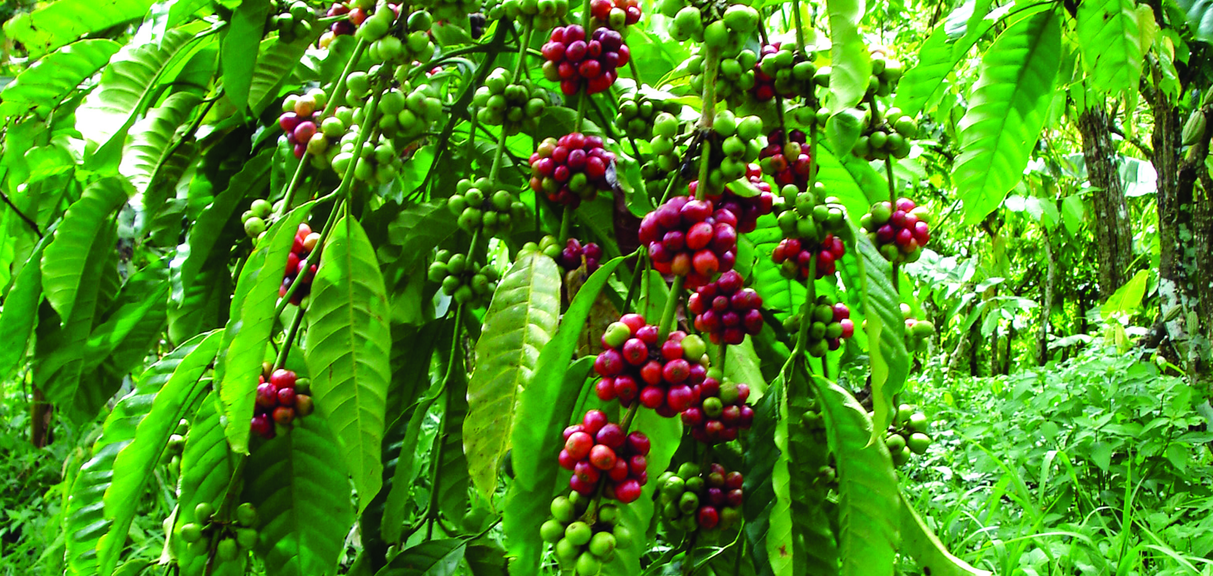 Foliar sprays of Omex CalMax reduce berry drop to give more coffee cherries per cluster.