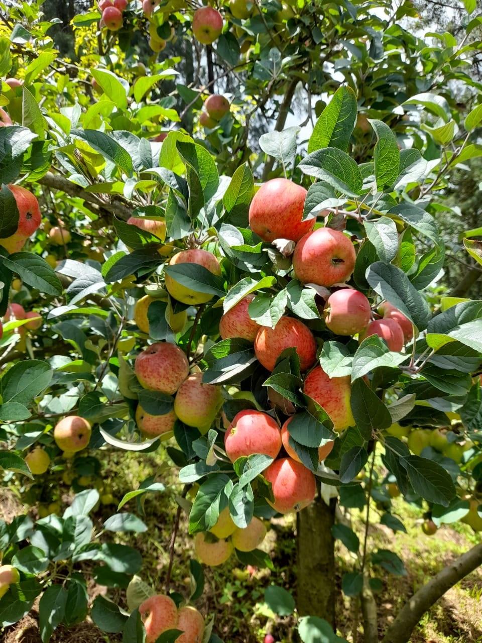 apples orchard guatemala