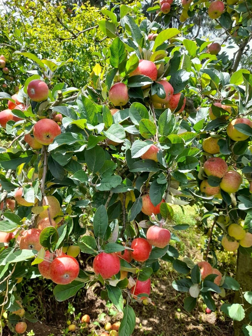 Abundant apples in Guatemala 🍎🍎🍎