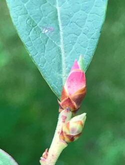 Generative blueberry buds