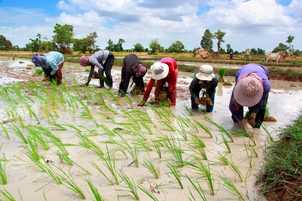 Rice – why is zinc application necessary?