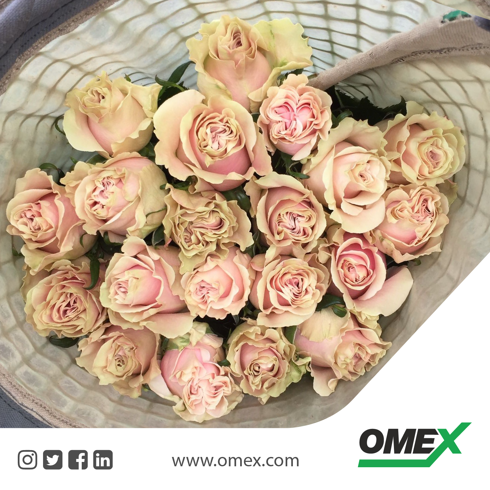 How to grow the best quality roses ….