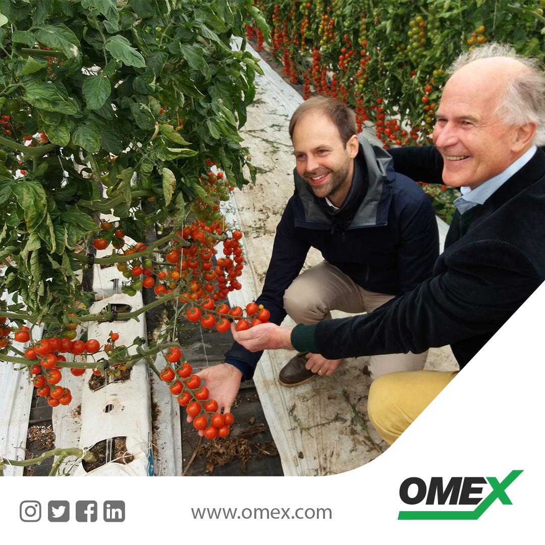 OMEX foliar fertilizer program for healthy tomatoes